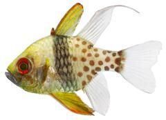 Pyjama cardinal fish (sphaeramia nematoptera) Stock Photos