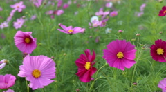 Close up cosmos flowers in field Stock Footage