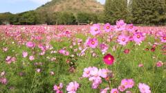 Cosmos flowers in field Stock Footage