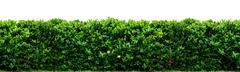 shrub fence - stock photo