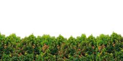 shrub foliage - stock photo