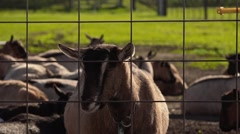 Goats in cheese farm, California - 1080p Stock Footage