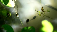 Toad and polliwogs in a pond Stock Footage