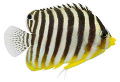 multibarred angelfish (centropyge multifasciatus ) - stock photo