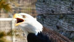 Stock Video Footage of Closeup of American Bald Eagle With Sound
