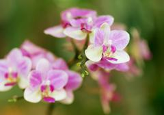 pink orchid phalaenopsis against tropical greens - stock photo