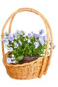 campanula terry in a wattled basket, is isolated on a white background - stock photo
