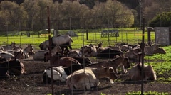American Goats in cheese farm, CA - 1080p Stock Footage