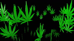 Green cannabis leaves on a black background Stock Footage