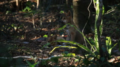 Dingo in the Rainforest Stock Footage