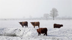 ABERDEEN ANGUS HIGHLAND CATTLE IN SNOW WYKEHAM NORTH YORKSHIRE Stock Footage