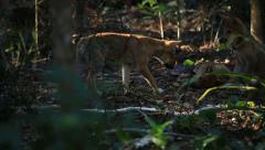 Wild dingo walking through rainforest Stock Footage