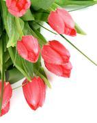 Magenta tulips Stock Photos