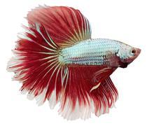siamese fighting fish. betta splendens - stock photo