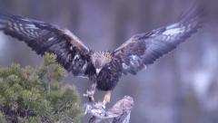 Golden Eagle jump up on branch where it got some pray Stock Footage