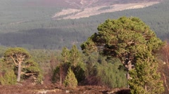 CALEDONIAN FOREST, CAIRNGORMS NATIONAL PARK, SCOTLAND Stock Footage