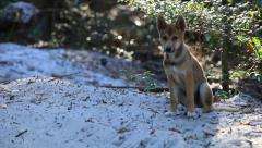Wild Dingo in Queensland Australia Stock Footage