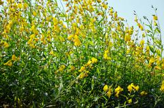 Wind and Sunnhemp flowers or Scientific Name, Crotalaria juncea L. Share. - stock photo