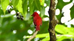 Summer Tanager (Piranga Rubra) vocalising while perched on a branch Stock Footage
