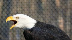 Closeup of Beautiful Bald Eagle With Sound Stock Footage