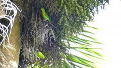 Stock Video Footage of Pair of Orange-Chinned Parakeet (Brotogeris Jugularis) creeping in palmtree