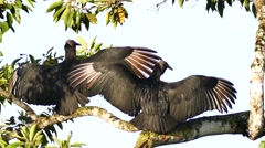 Stock Video Footage of Black Vulture (Coragyps Atratus) extending and drying up their wings in the wind