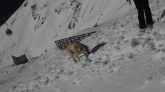 Stock Video Footage of dog searching for person in avalanche test hole