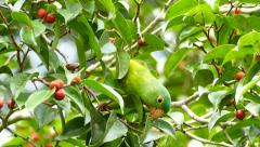 Orange-Chinned Parakeet (Brotogeris Jugularis) feeding in a tree - stock footage