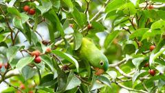 Orange-Chinned Parakeet (Brotogeris Jugularis) feeding in a tree Stock Footage