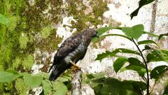 Broad-Winged Hawk (Buteo Platypterus) stretching with large tree in background Stock Footage