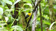 Male Golden-Collared Manakin (Manacus Vitellinus) perched in jungle - stock footage