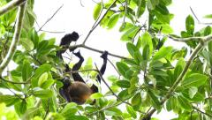 Unsecure baby Howler monkey (Alouatta) holding on mother Stock Footage