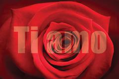 Composite image of close up of red rose - stock illustration