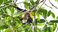 Howler monkey (Alouatta) feeding and scratching while hanging upside down Stock Footage