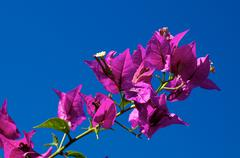 Branch of flowering bougainvillea in bloom against clear sky Stock Photos