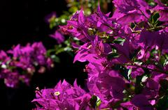 Bougainvillea plant in bloom Stock Photos