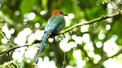 Broad-Billed Motmot (Electron Platyrhynchum) perched on a branch in the jungle Stock Footage