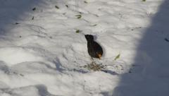 SLOW MOTION: Blackbird eating seeds on fresh snow - stock footage