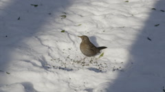 SLOW MOTION: Blackbird female eating seeds in winter - stock footage