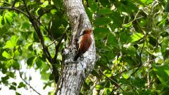 Cinnamon Woodpecker (Celeus Loricatus) pecking on a tree and searching for prey Stock Footage