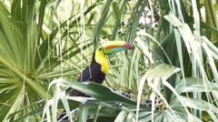 Keel-Billed Toucan (Ramphastos Sulfuratus) perched in palmtree - stock footage
