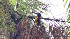Collared Aracari (Pteroglossus Torquatus) feeding on fruits Stock Footage