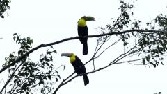 Pair of Keel-Billed Toucan (Ramphastos Sulfuratus) perched in a tree Stock Footage