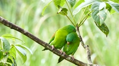 Pair of Orange-Chinned Parakeet (Brotogeris Jugularis) grooming each other Stock Footage