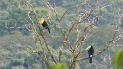 Keel-Billed Toucan (Ramphastos Sulfuratus) perched on branches Stock Footage