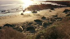 Elephant Seals Relaxing on Beach Stock Footage