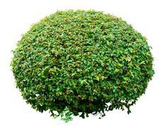 Ornamental bush Stock Photos