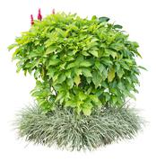 ornamental plant - stock photo