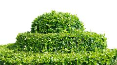 shrub  on white - stock photo