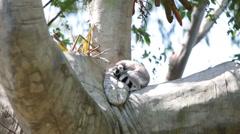 Lemur sitting on the tree Stock Footage